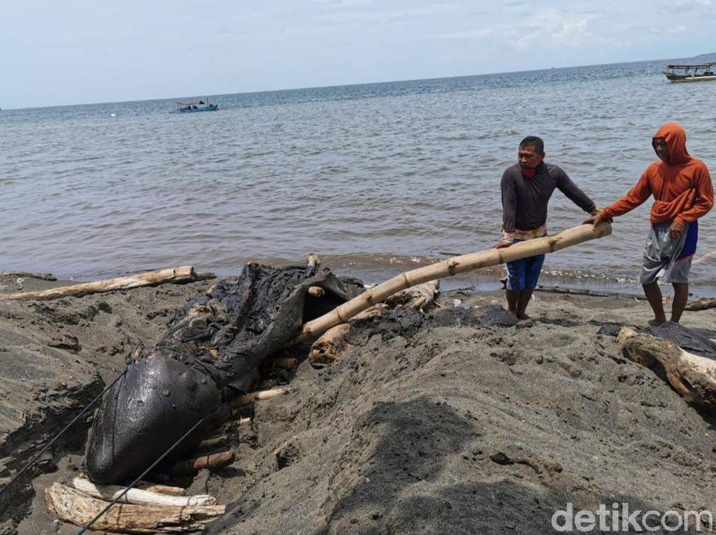 BKSDA Teliti Kematian Paus Orca di Pantai Bangsring Banyuwangi