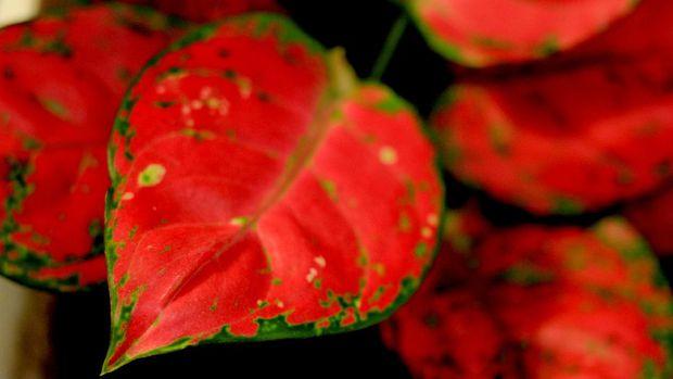 Tanaman hias aglonema merah