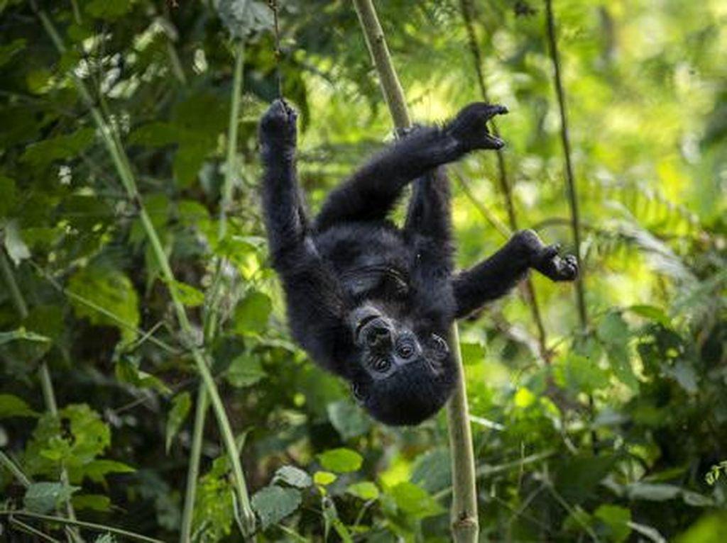 Tingkah Lucu Bayi Gorila di Taman Nasional Uganda