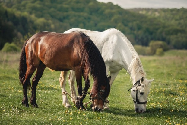 Kuda.
