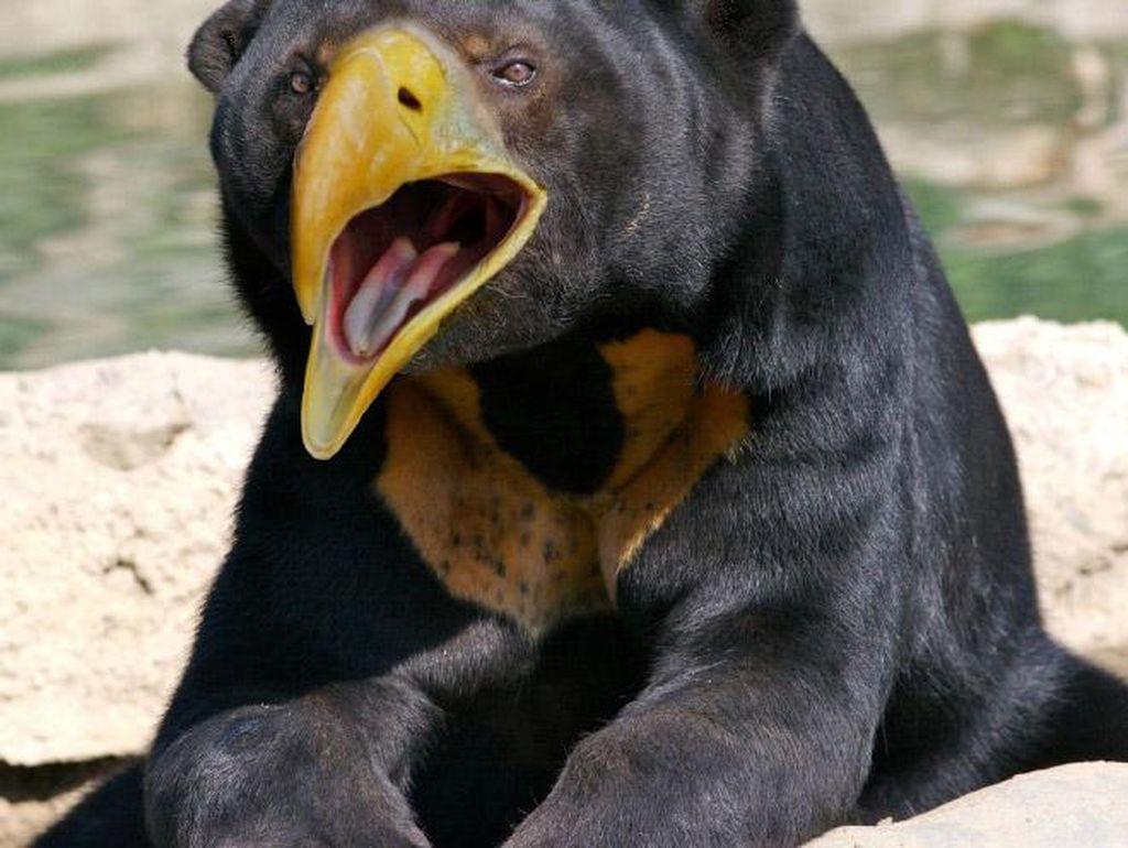 Penampakan Beruang Jika Punya Paruh Burung