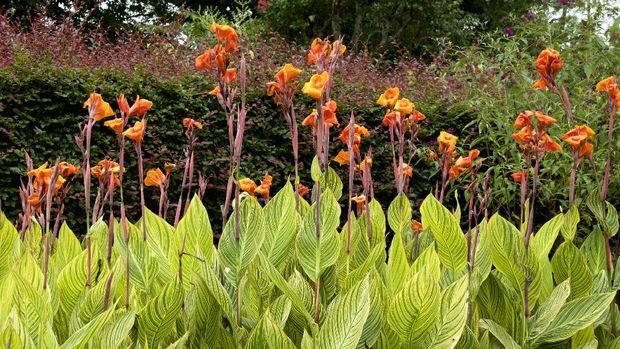 Beautiful leaf canna that blooms in summer.