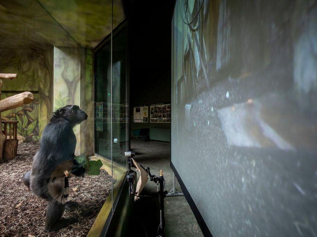 Tingkah Lucu Simpanse Nonton Layar Tancep di Ceko