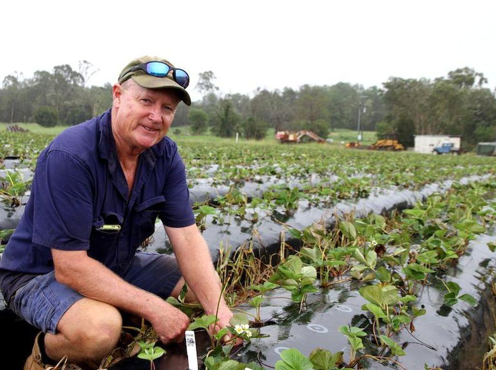 Petani Stroberi Australia Tawarkan Kesempatan Menang Undian Bagi Mereka yang Mau Memetik Saat Panen