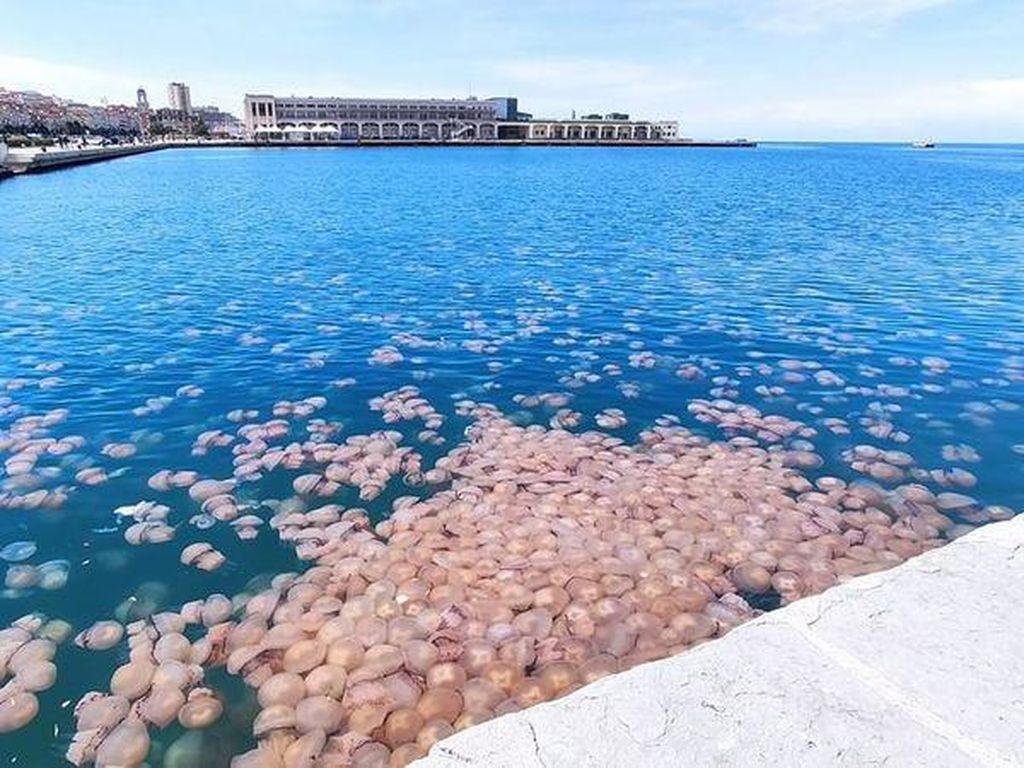 Hii... Ribuan Ubur-ubur Hantui Pelabuhan Italia