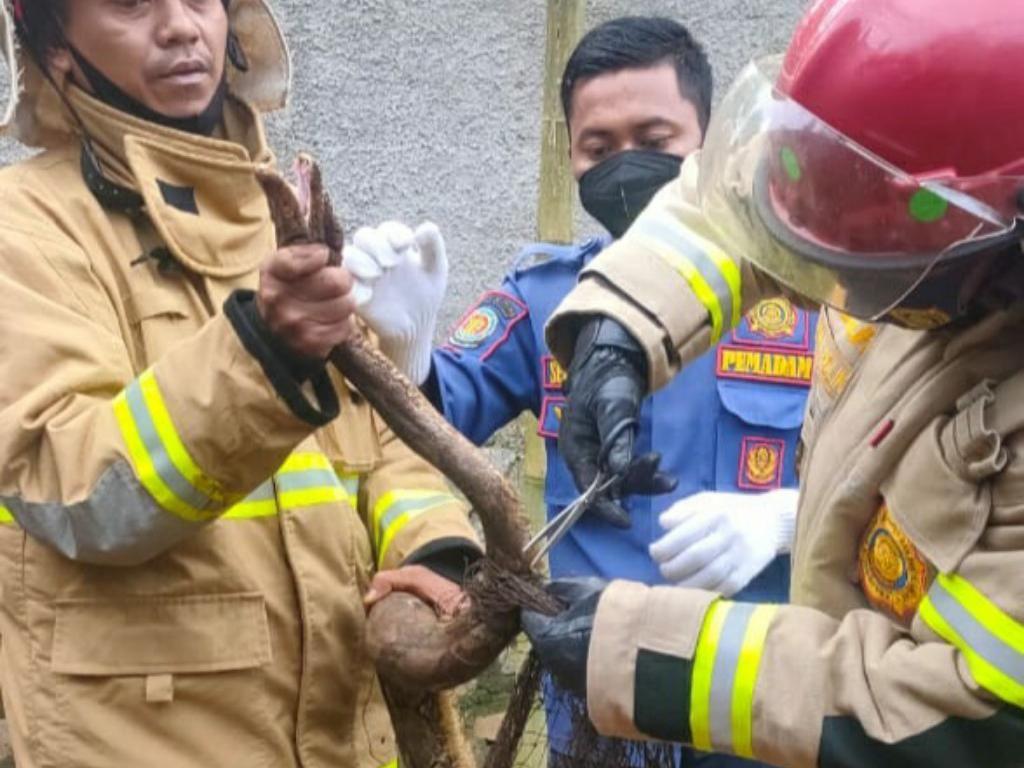 Petugas Damkar Ciamis Tangkap Ular Sanca 2,5 Meter Pemangsa Ayam