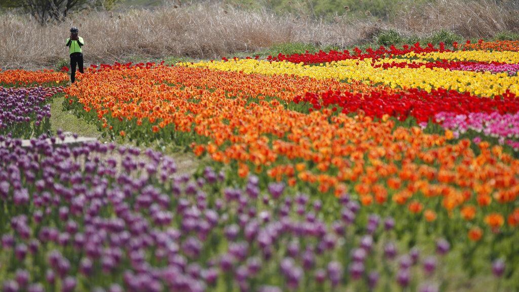 Indahnya Mekaran Bunga Tulip Saat Musim Semi di Korsel