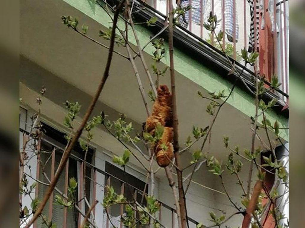 Heboh! Hewan Aneh Dikira Bertengger di Pohon, Ternyata Croissant