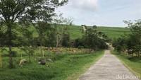 Sumbar Punya Padang Rumput Mirip New Zealand, Sudah Tahu?