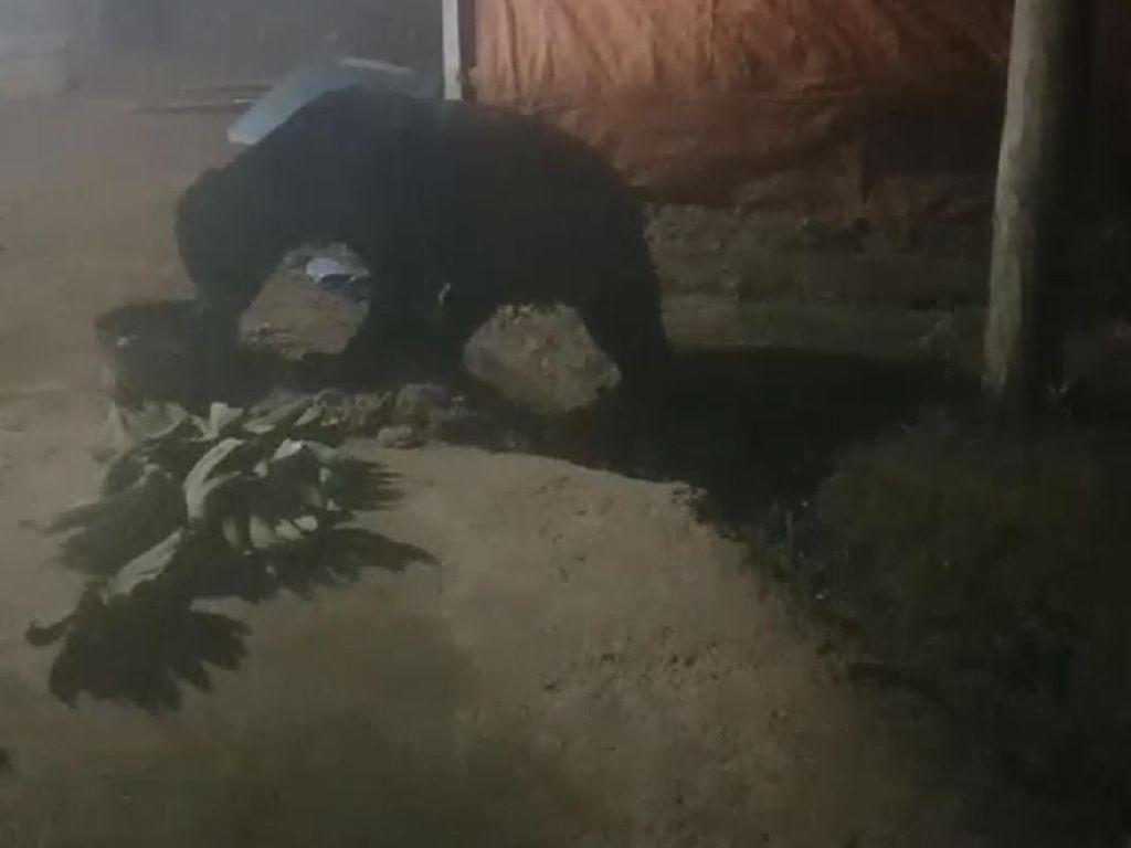 Heboh Beruang Madu Masuk Dapur Warga di Sumbar Gegara Bau Minyak Gorengan