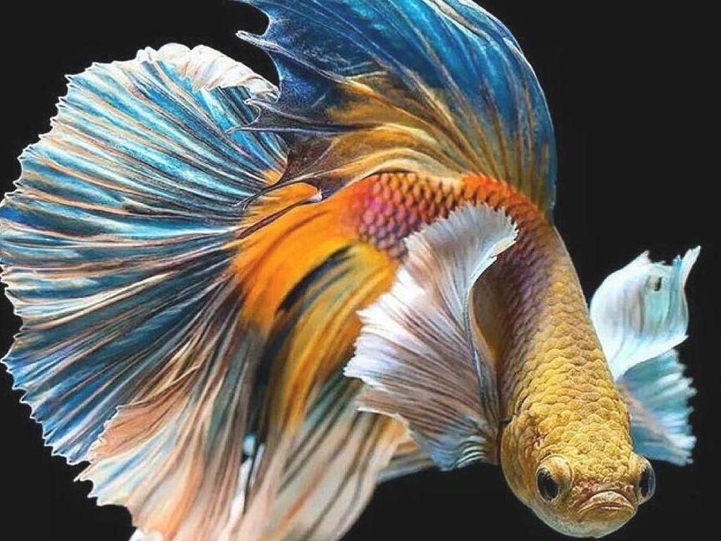 Ini Cara Membedakan Jenis-jenis Ikan Cupang & Jenis Kelaminnya dari Dosen IPB