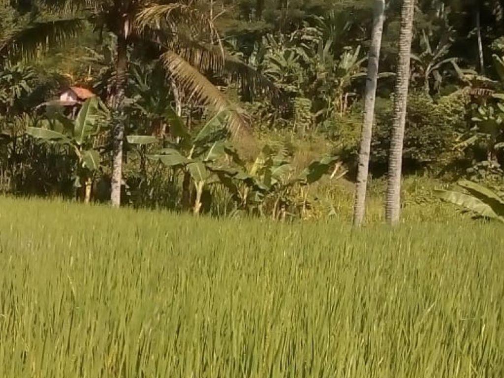 Petani di Cikembar Sukabumi Kewalahan Hadapi Serangan Hama Tikus