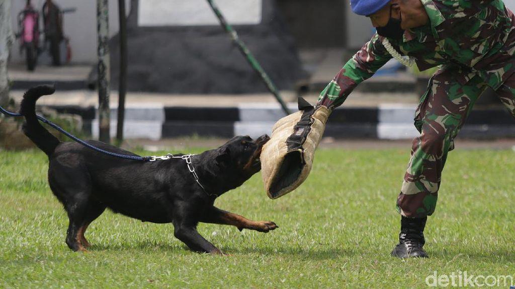 Aksi Tangkas Pasukan Anjing K9 Pomdan Jaya