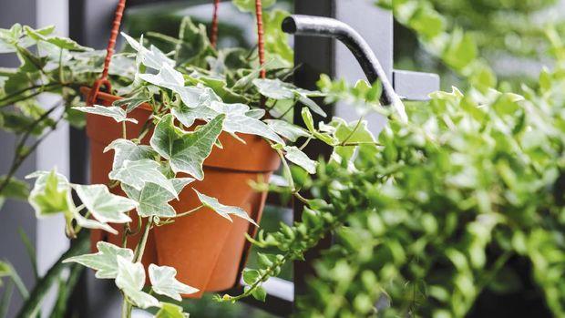 Green ivy in flowerpot on white background