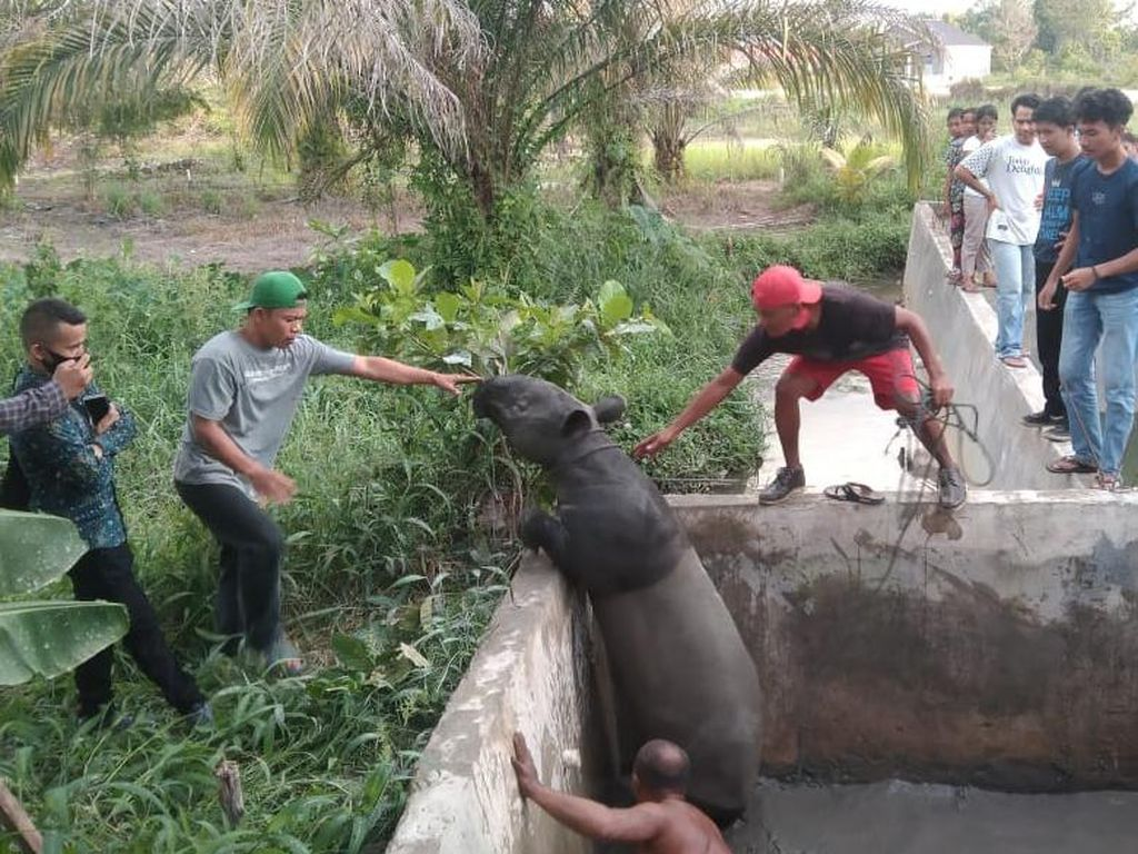 Seekor Tapir Masuk ke Kolam Ikan Bikin Geger Warga Pekanbaru