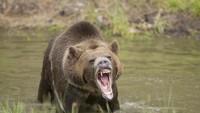 Bukan Bercanda! Seekor Beruang Grizzly Mati Dibunuh Kambing