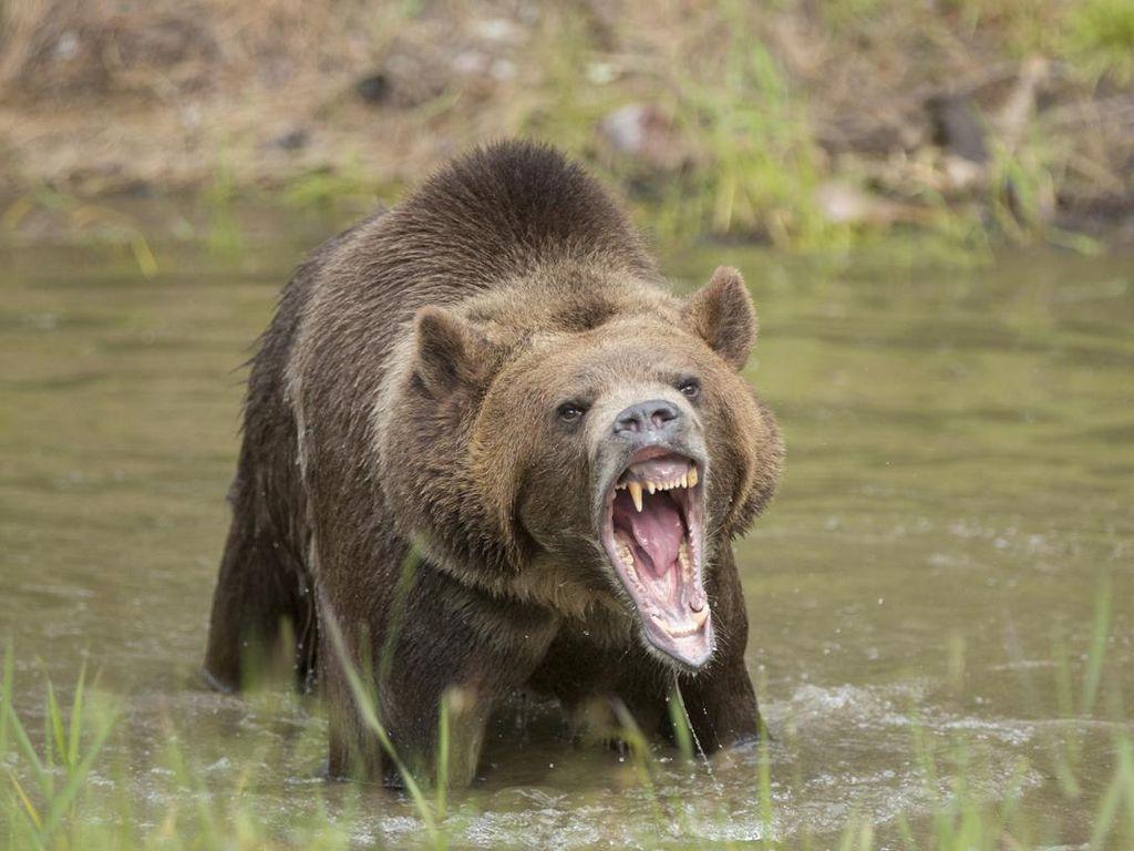 Bertaruh Nyawa Demi Konten, Turis Ini Hampir Diterkam Beruang