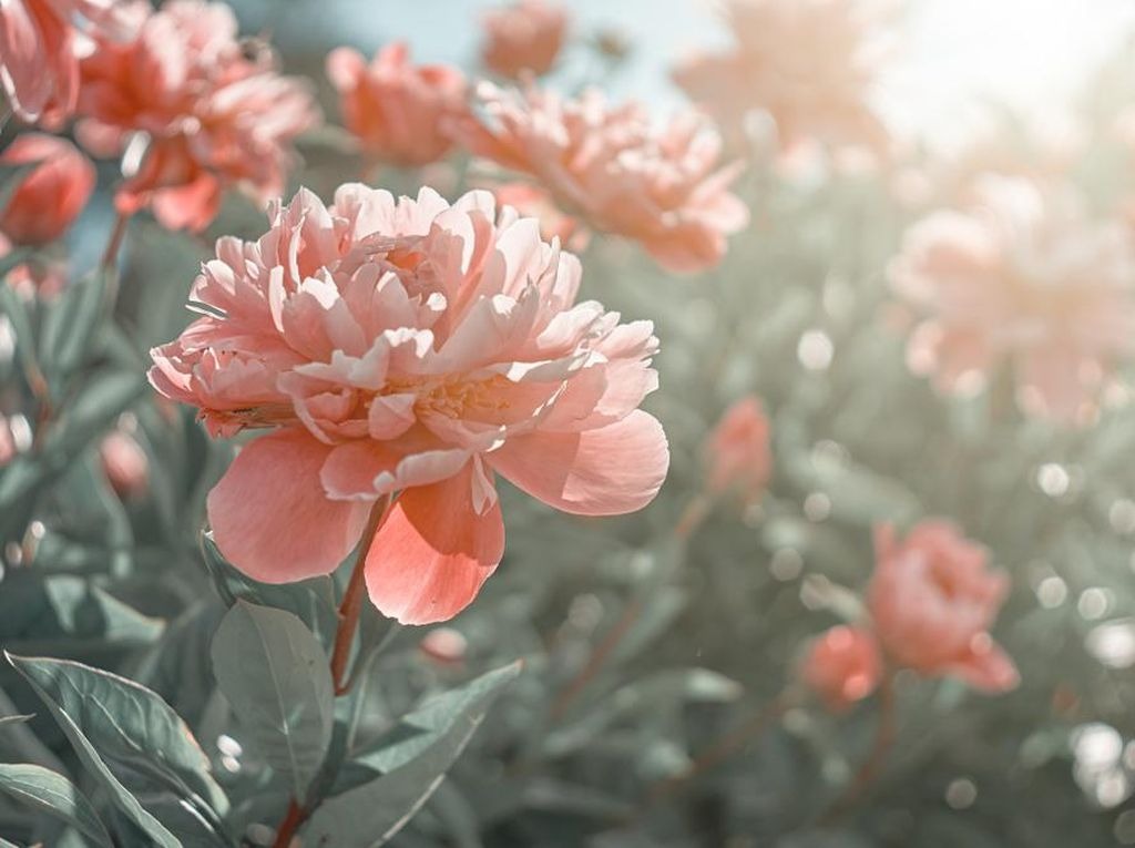 Peony, Bunga Lambang Happy Wedding yang Sering Hadir di Pernikahan