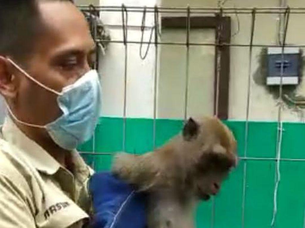 Monyet Lepas Serang Bocah di Palmerah hingga Berdarah