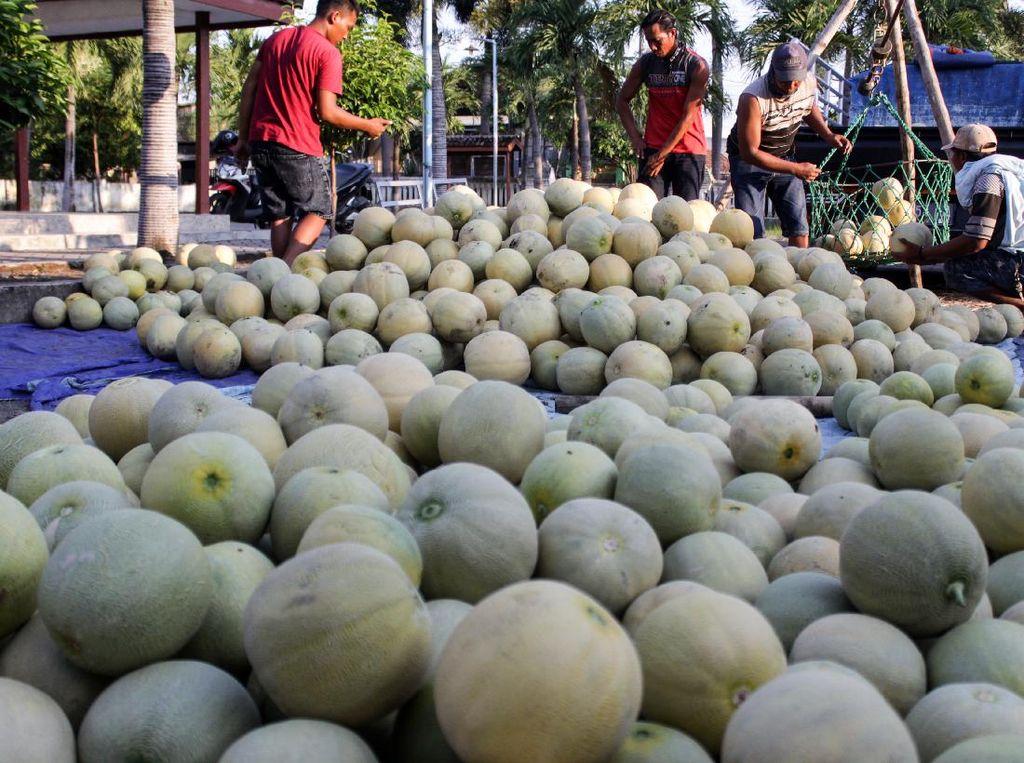 Panen Melon Berkah Ramadhan