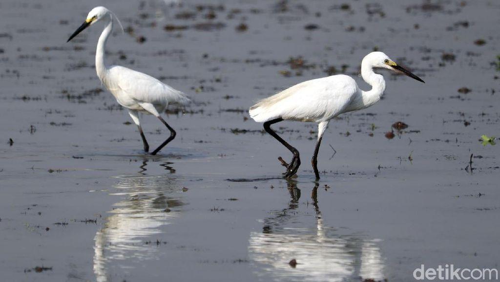 Mengenal Burung Kuntul, Si Penyeimbang Ekosistem Alam