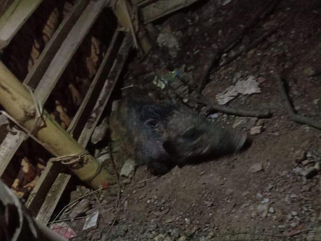 Babi Ngepet Sesungguhnya Sudah Pernah Dibikin Peneliti AS Lho!