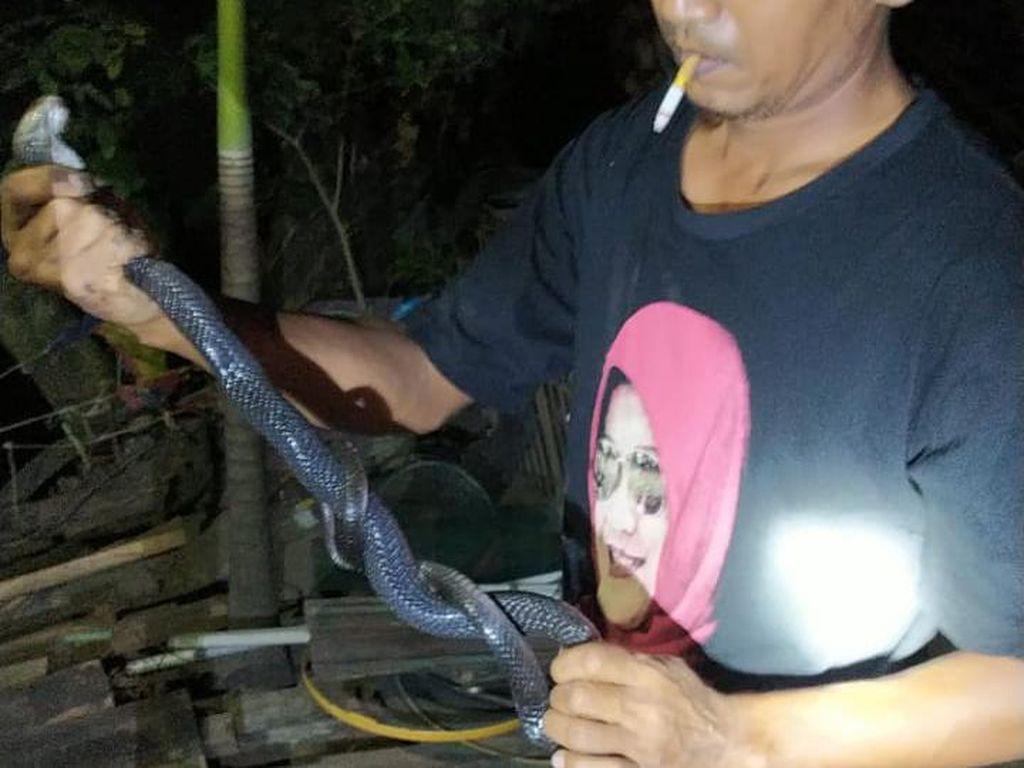 Mak Tratap! Dua Ekor Kobra Dewasa Masuk Rumah Warga di Klaten
