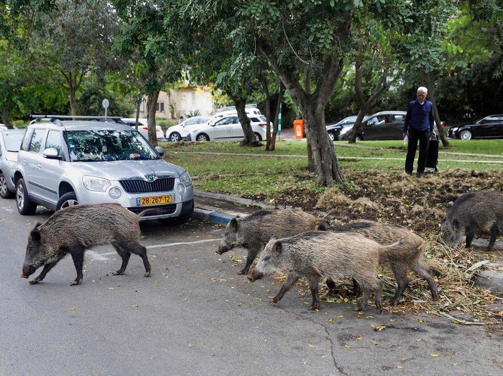 Babi Disembelih di Depok, di Israel Malah Hidup Rukun dengan Warga
