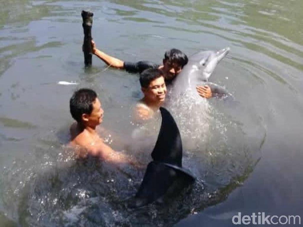Proses Evakuasi Lumba-lumba Terjebak di Empang Warga di Maros