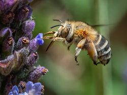 Kabar Baik! Lebah Bisa Deteksi COVID-19