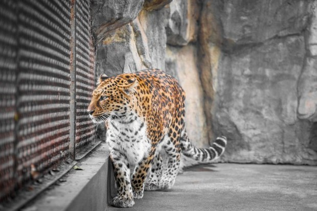 Meskipun menyeramkan, ternyata mimpi dikejar harimau juga pertanda bahwa jodohmu sudah dekat.