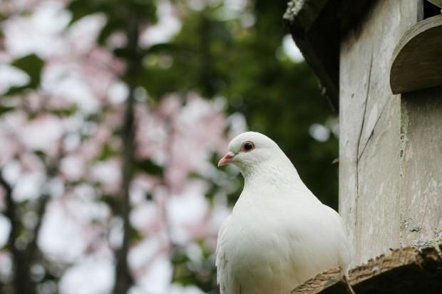 Kamu pasti sudah tahu kalau merpati merupakan hewan lambang cinta sejati. Selain itu burung merpati juga melambangkan kesucian dan kesetiaan.
