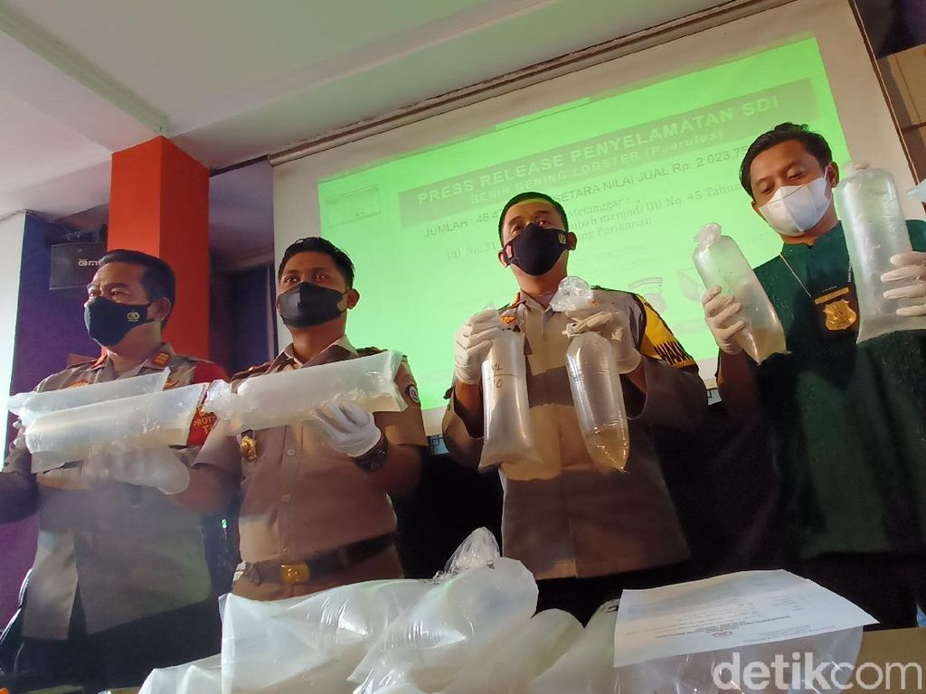 46 Ribu Benur Senilai Rp 2 Miliar Disita Polresta Bandung