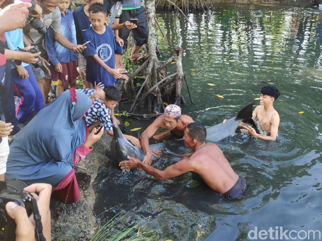 Lumba-lumba Terjebak di Empang Warga di Maros Sulsel Dievakuasi ke Laut