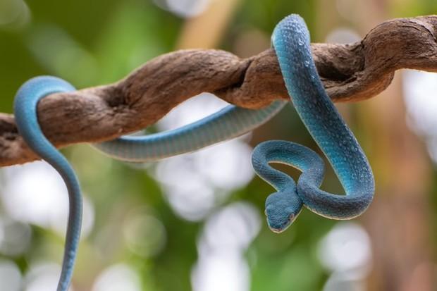 Ular seringkali digambarkan sebagai binatang buas yang mampu membunuh manusia hanya dengan gigitannya saja. Tapi ternyata, mimpi digigit ular bukanlah hal yang buruk.