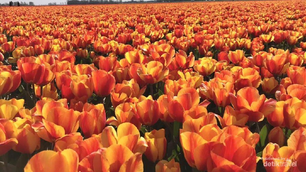 Ngabuburit ke Ladang Tulip di Belanda
