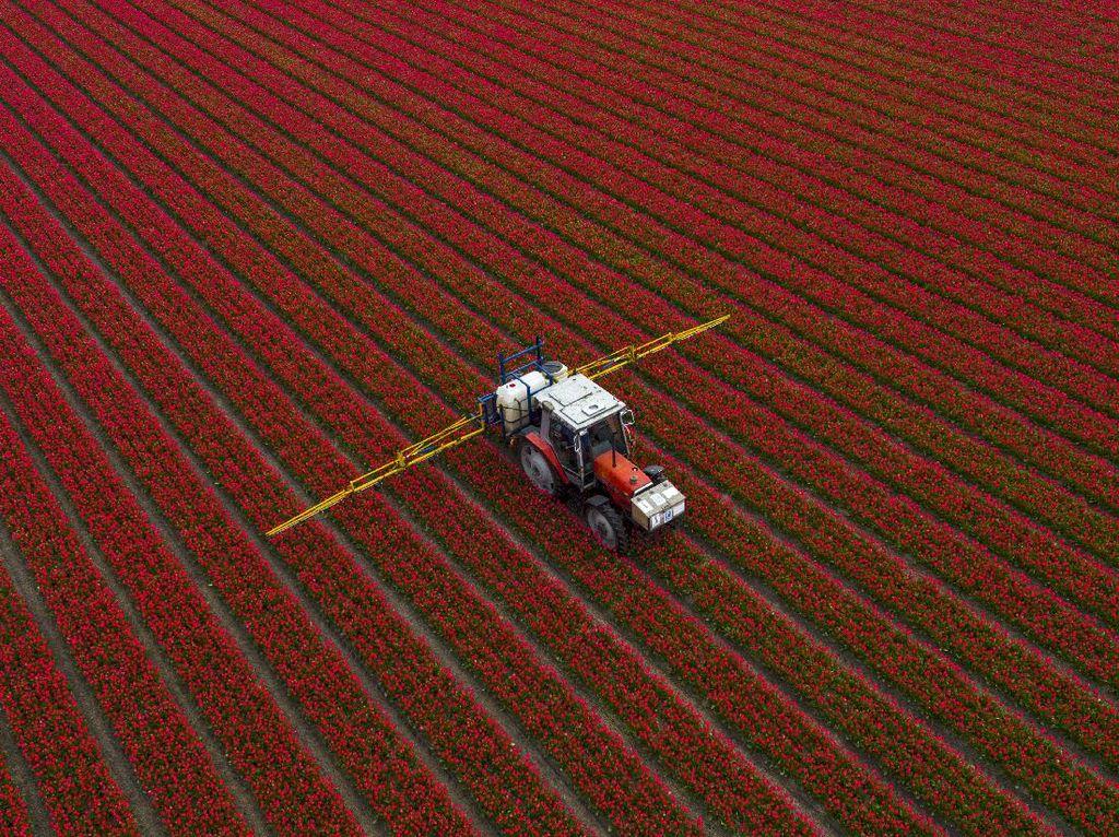 Terpukau Keindahan Bunga Tulip Bermekaran di Belanda