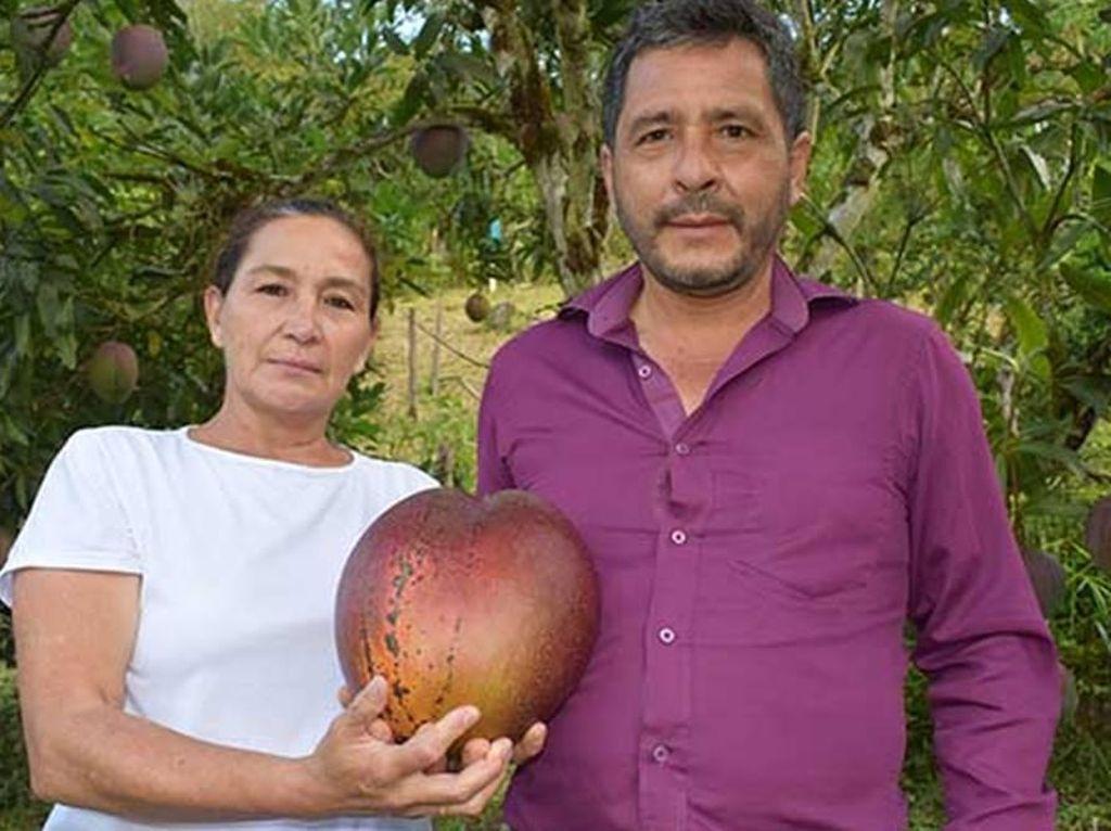 Rekor Mangga Terbesar di Dunia, Beratnya 4,25 Kilogram