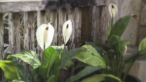 Peace Lily flower plant in outdoors garden, stock photo