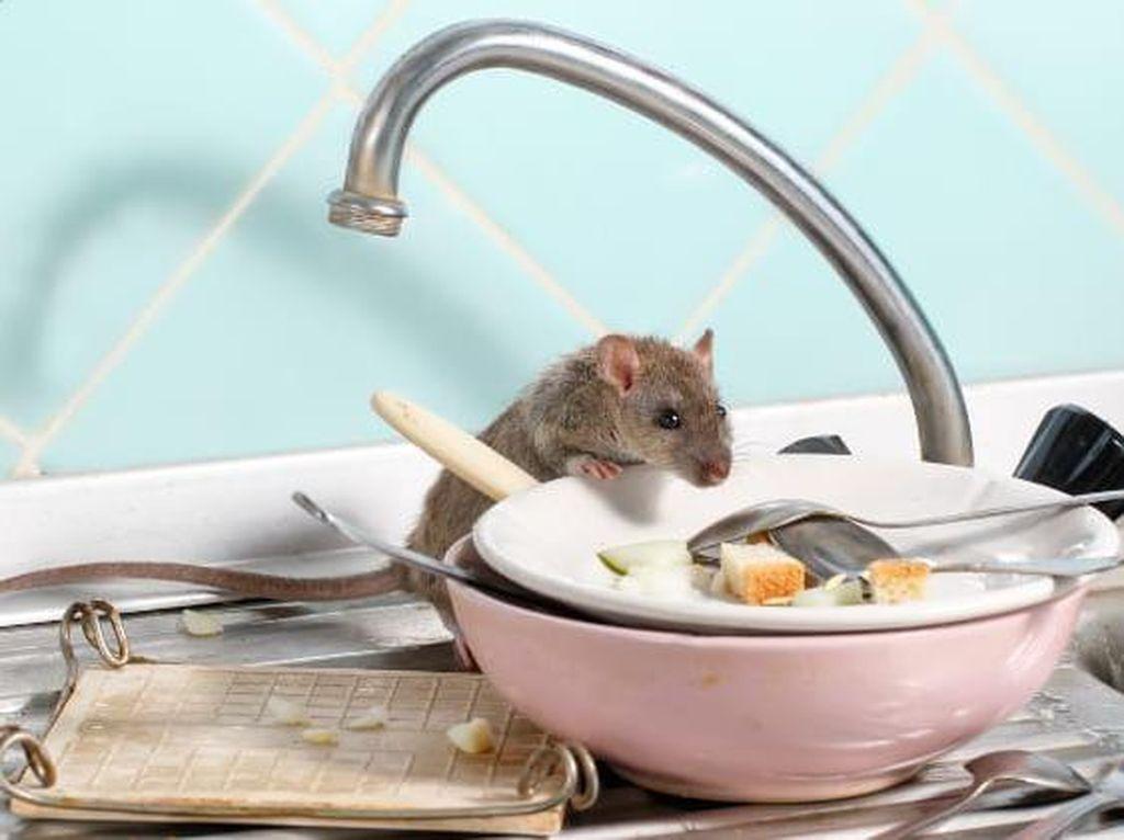 5 Bahan Alami Mengusir Tikus yang Ampuh, Kopi hingga Kulit Telur