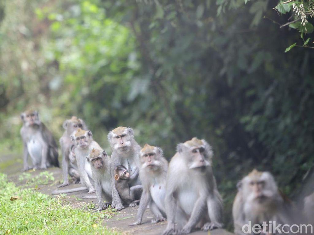Viral! Video TikTok Monyet Staycation di Kolam Renang Hotel Bali