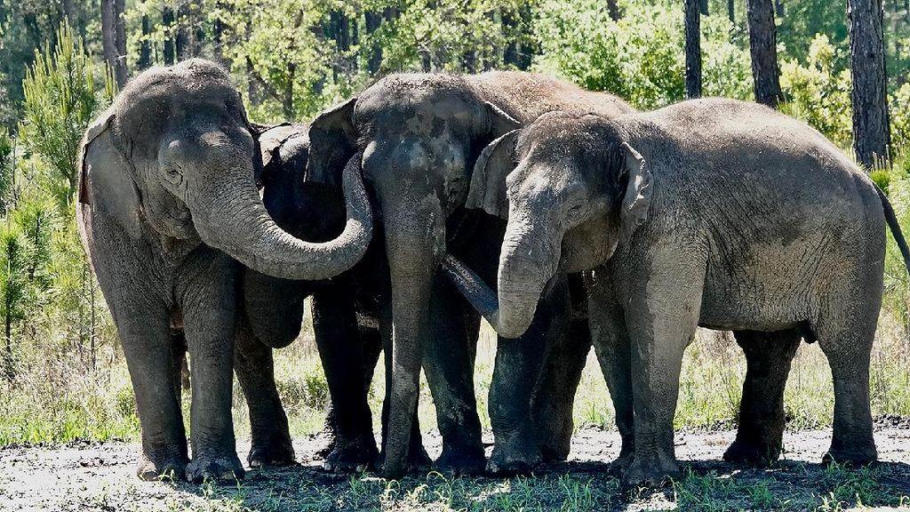 Foto Gajah Sirkus yang Masuk Panti Jompo
