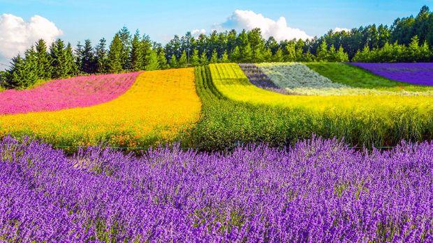 Irodori field, Tomita farm, Furano, Japan. It is the famous and beautiful flower fields in Hokkaido