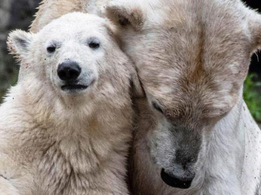 Kesalahan Fatal! Bayi Beruang Kutub Ini Hasil Inses