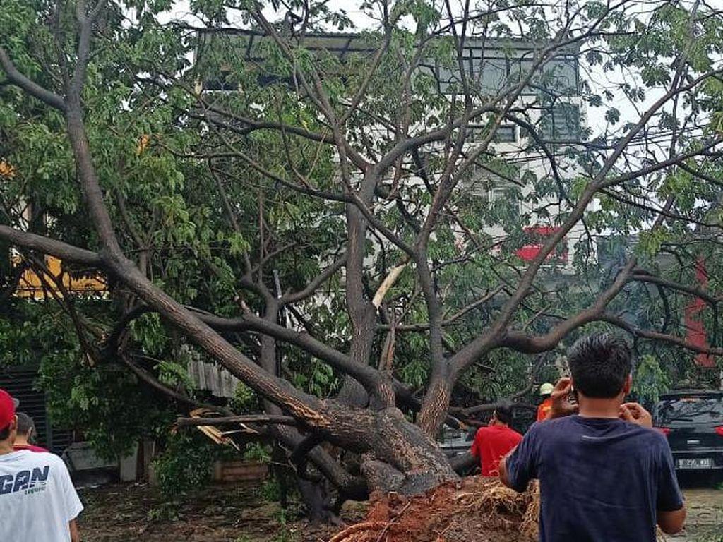 3 Pohon Tumbang di Depok Usai Hujan dan Angin Kencang