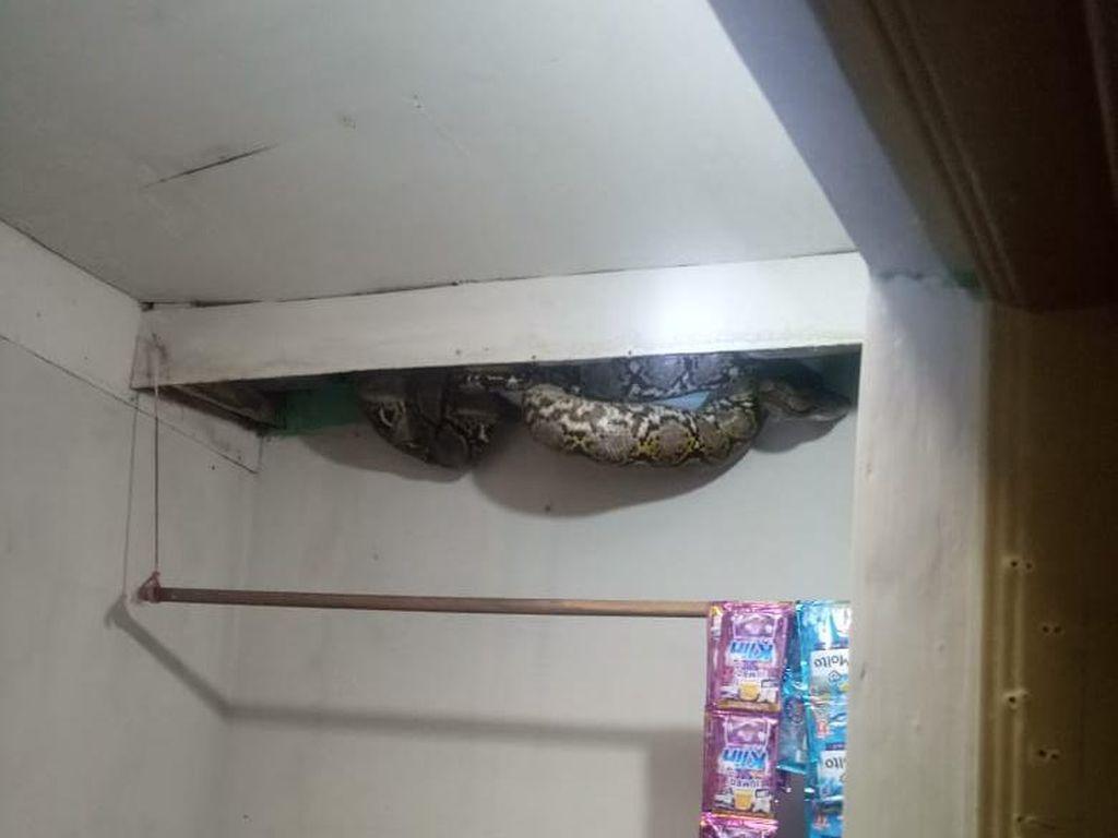 Ngeri! Ular Sanca 4 Meter Muncul dari Plafon Rumah Warga di Jakbar