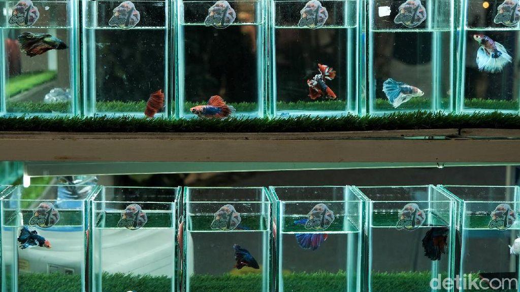 Yuk, Merapat! Ada Festival Ikan Cupang Keren Nih di Serpong