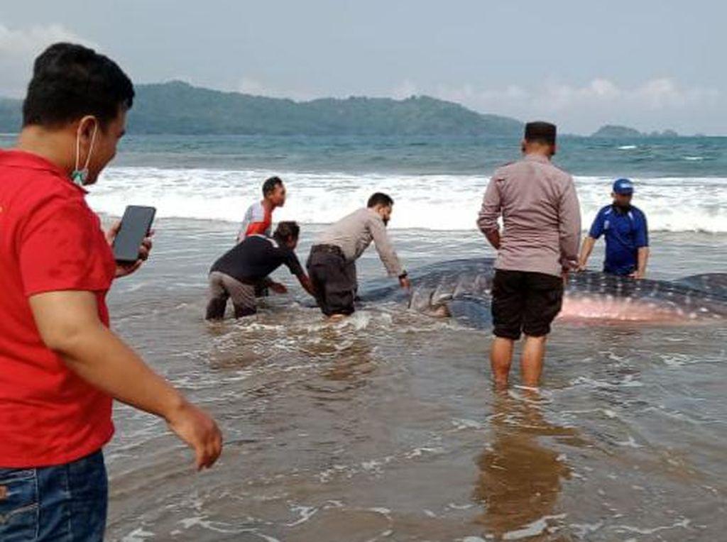 Seekor Hiu Paus Terdampar di Pantai Gemawing Trenggalek