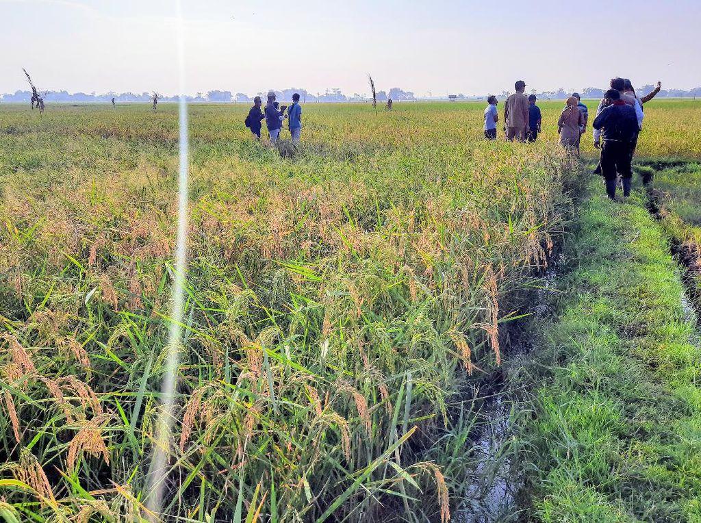 Petani Situbondo Kembangkan Padi Varietas Baru, Ini Hasilnya