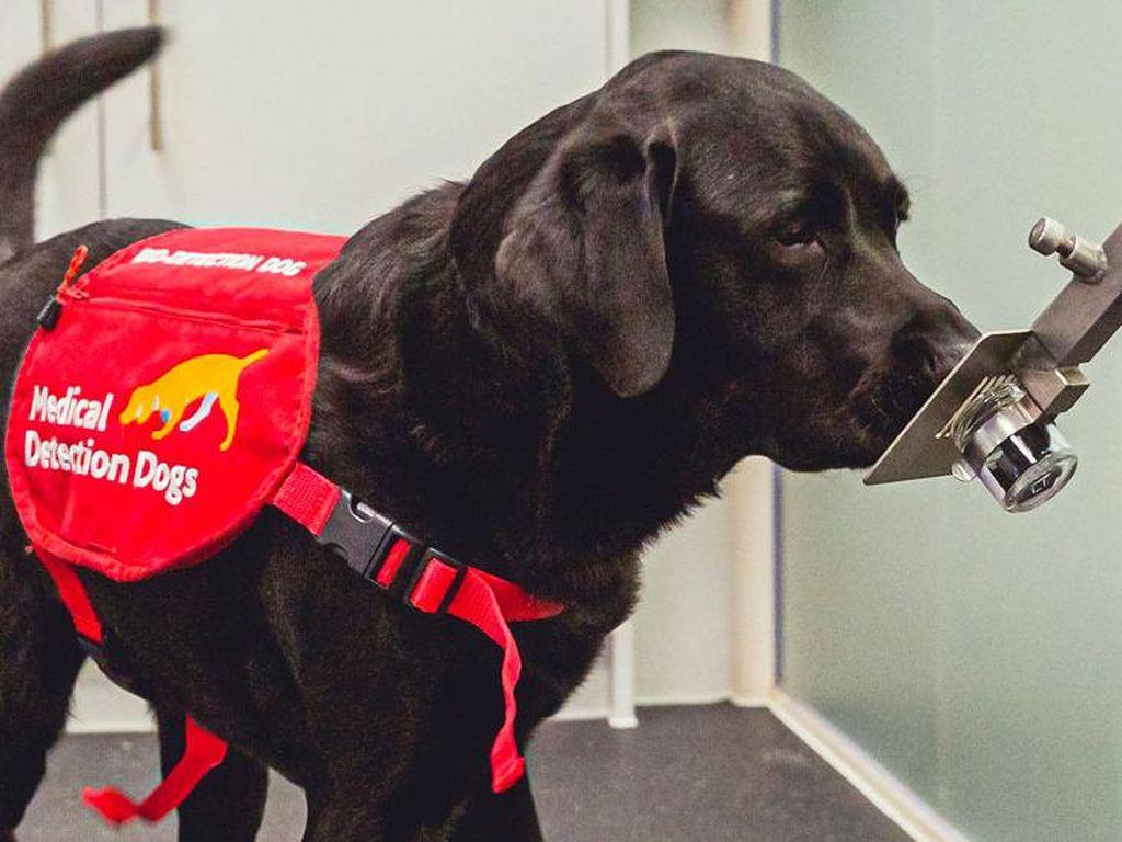 Anjing Pelacak Bisa Endus Hampir 90 Persen Orang yang Tertular Corona